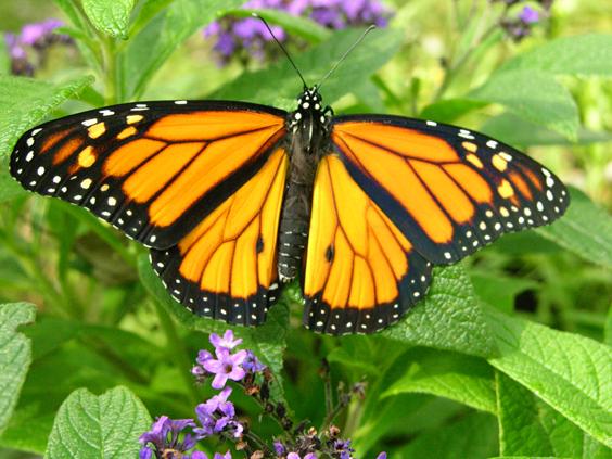copy-of-butterfly_monarch_male1.jpg