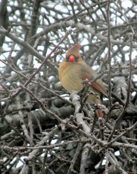 female cardinal at millers