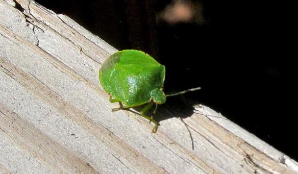 green bug 3