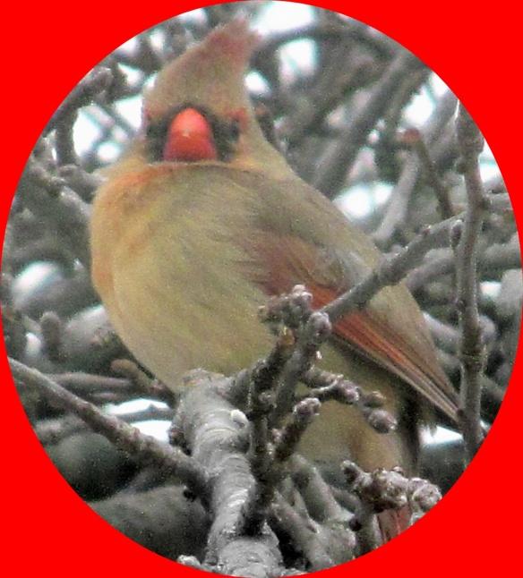 female cardinal at millers