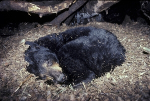 grizzly_bear-Hibernation_freedom_interferon_side_effects