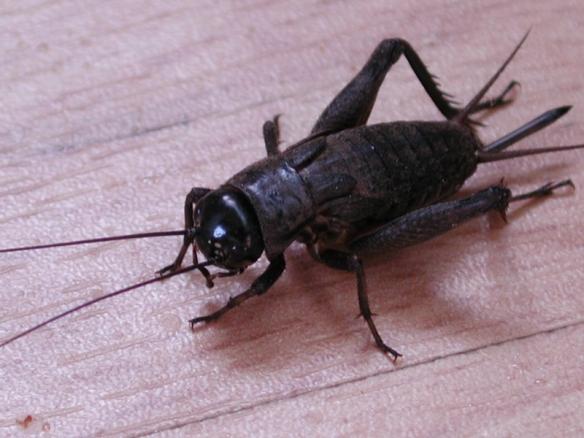 cricket2c