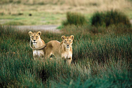 two-female-lions-11
